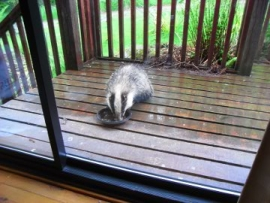 Badger at Criffel Lodge